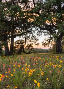 wildflowers under large trees at sunset
