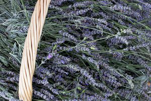 Lavender fresh cut in basket